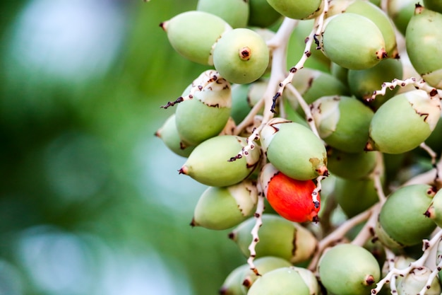 Red seed and new green palm seed on tree