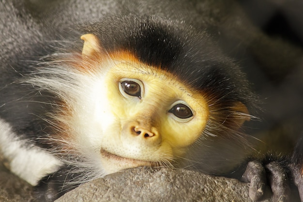 Red-shanked douc langur in the cage