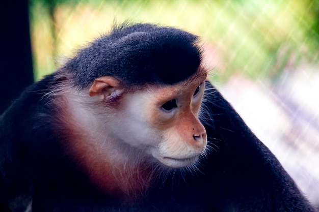 Red-shanked douc langur in the zoo.