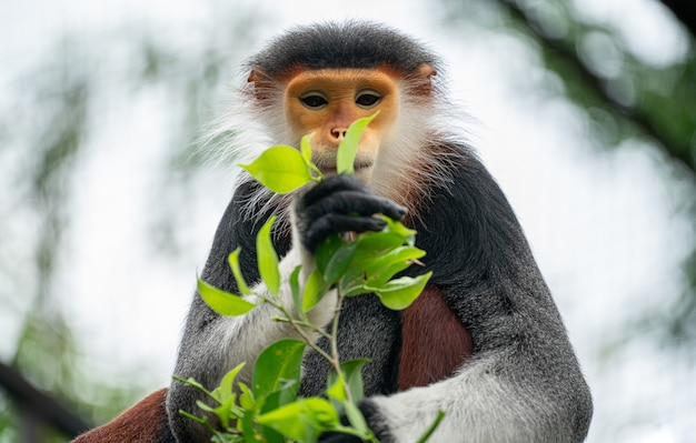 Red shanked douc langur