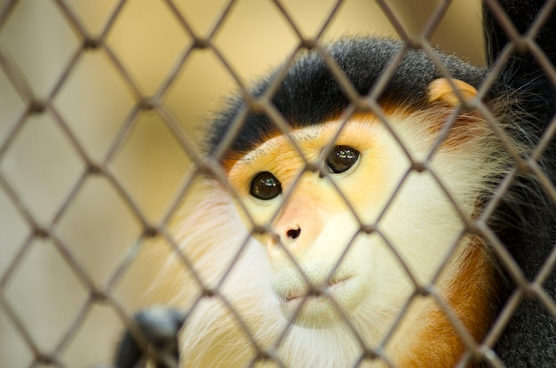 Red-shanked douc (pygathrix nemaeus) in the cage, the five color of douc langur, dusky leaf monkey