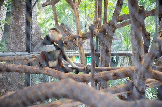 Red-shanked douc (pygathrix nemaeus) in the zoo of thailand(selective focus)