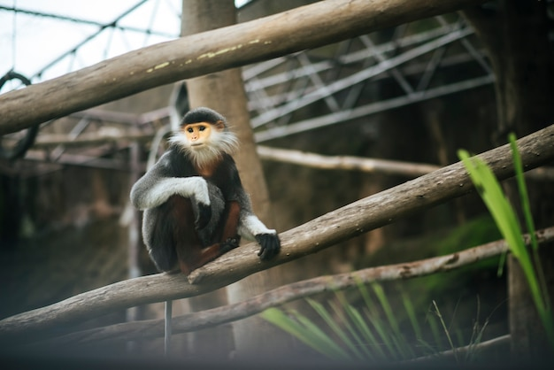 Red-shanked douc in the zoo. animals concept.