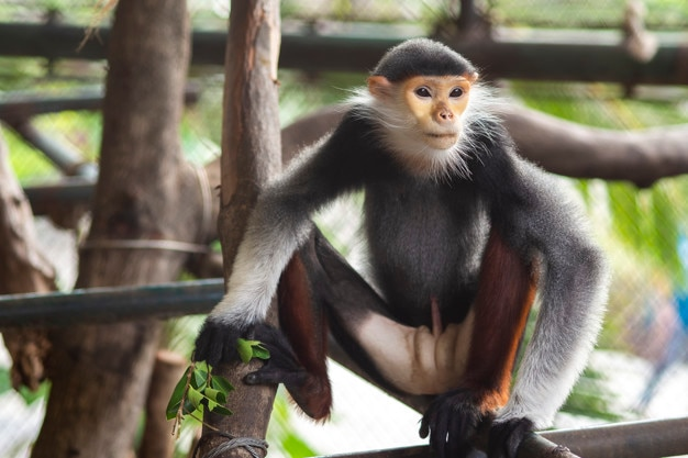 Red-shanked douc in zoo