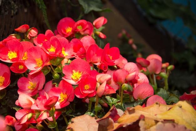 Красные мерцающие восковые бегонии сияют в саду. красная бегония. в саду много маленьких красных цветочков.