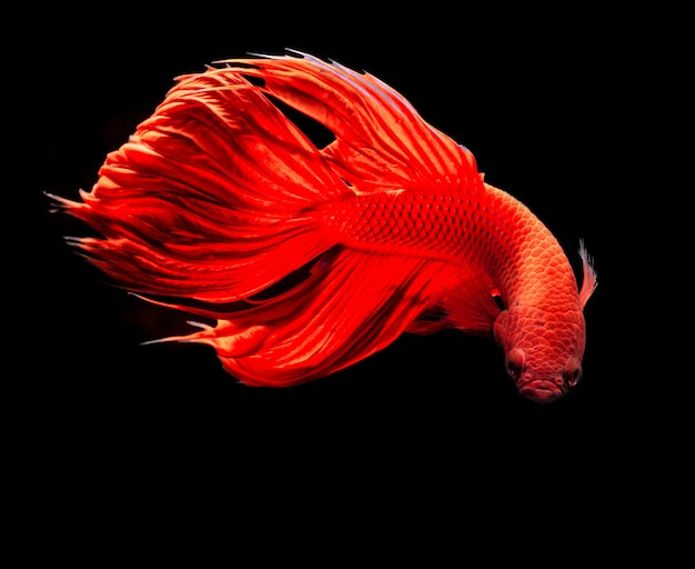 Red siamese fighting fish or betta splendens fancy fish on black