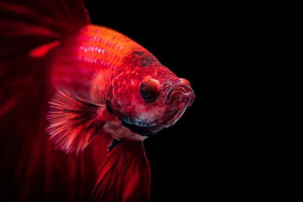 赤いシャムの戦いの魚ベタの素晴らしさ、黒い孤立した、ベタファンシー鯉ハーフムーンプラカット