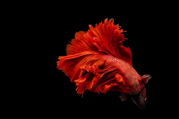 Красная сиамская боевая рыба betta splendens, на черном изолированном, betta fancy koi halfmoon plakat
