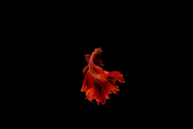 暗闇の中で赤いシャムの戦いの魚