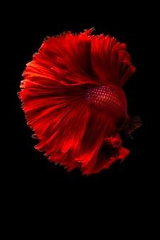 Красная сиамская бойцовая рыба
