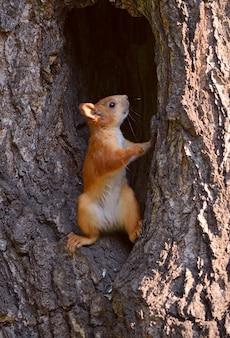 赤いシベリアリスは、ふわふわの小さな木のくぼみに半回転で立っています