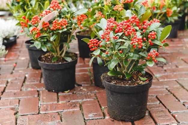 赤いスキミアジャポニカ風疹植物。ガーデンマーケットのフラワースキミアのポット