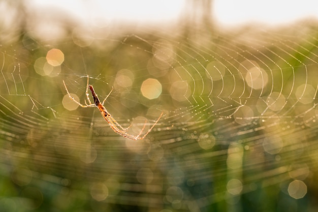 Red spider in the rich field.