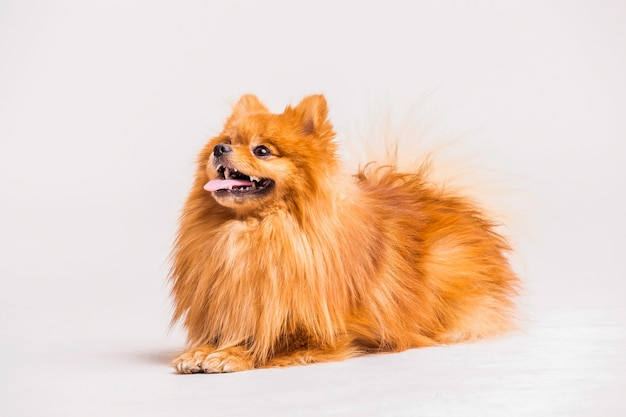 Red spitz dog isolated on white background