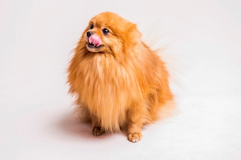 Red spitz dog sticking tongue out over white background