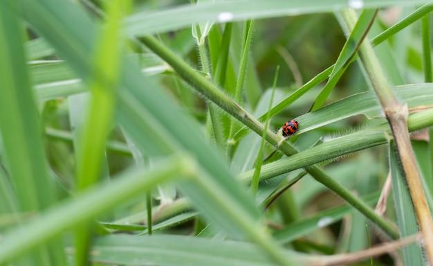 Красная пятнистая божья коровка гуляет по дикой траве в джунглях