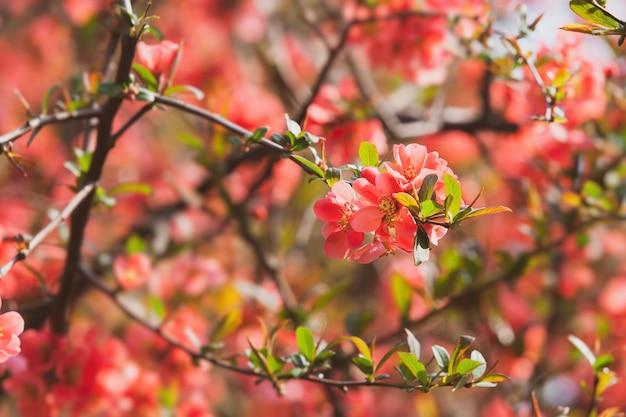 붉은 봄 꽃. 꽃이 만발한 chaenomeles (모과, 모과)