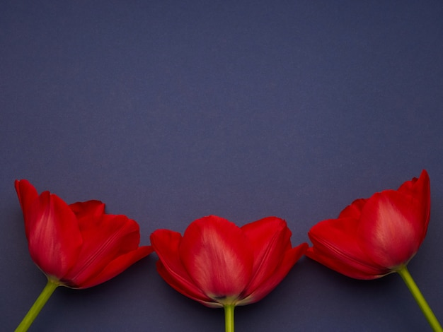 Red spring tulips on blue purple background, women's day copy space