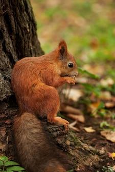 Red squirrel in autumn forest