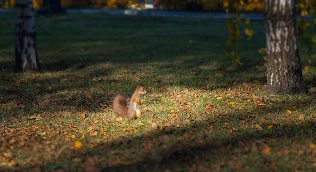 Red squirrel in autumn park