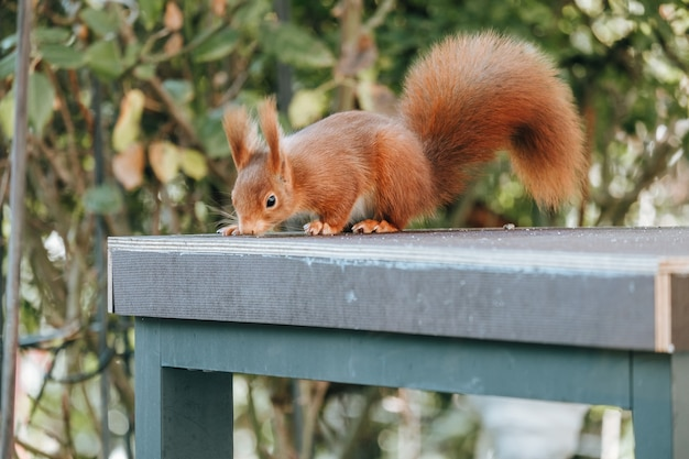 Red squirrel on a blue table outdoors