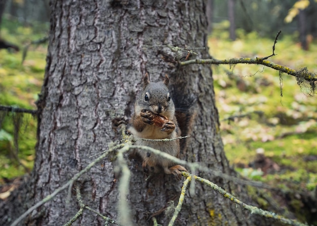 Red squirrel gnawing pine cone on branch
