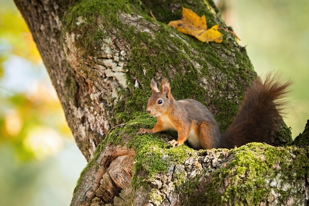 Red squirrel hiding in mossy tree trunk with yellow autumnal leafs