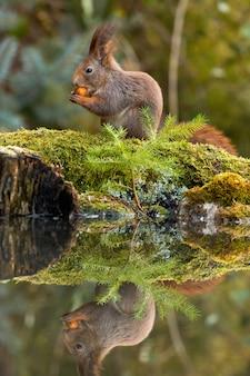 春の森でナットを押しながらそれを食べて赤リス