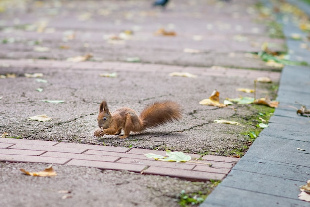 Red squirrel holding a nut