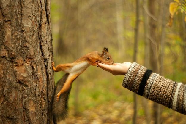 Рыжая белка в осеннем парке ест орехи рукой девушки, размытый фон