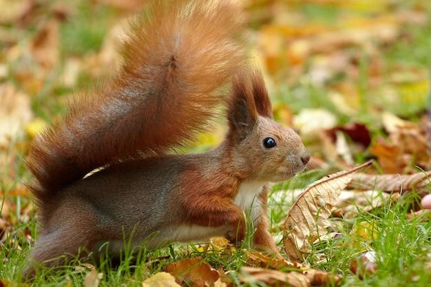 Красная белка в парковой зоне охотится на орехи