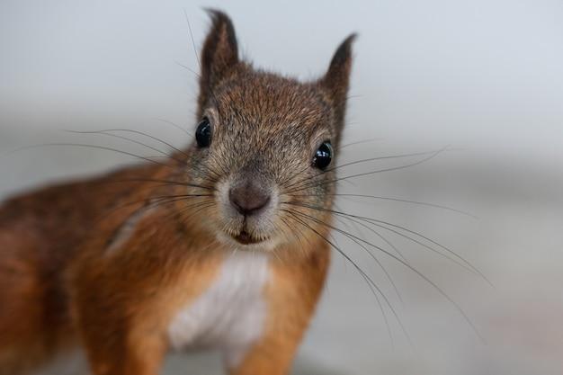 겨울철에 붉은 다람쥐