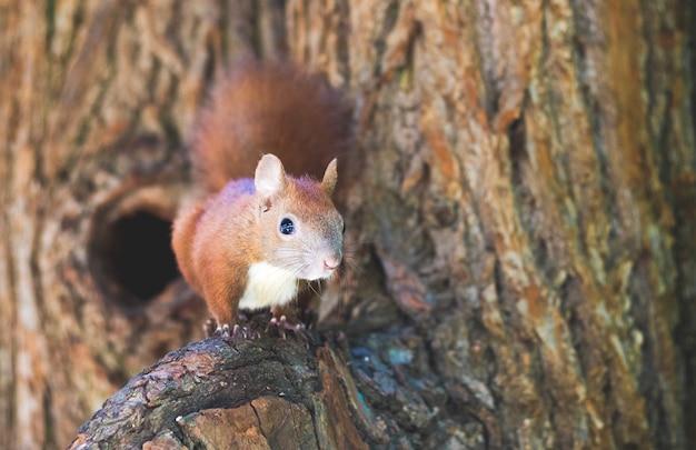 Рыжая белка на ветке дерева возле дупла в лесу