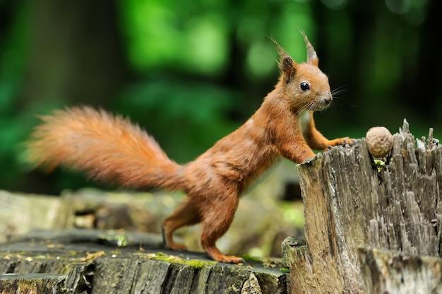 Рыжая белка на пне с орехами