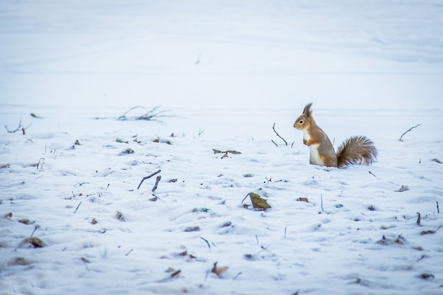 Red squirrel posing at the park.cute red squirrel looking at winter scene - photo with nice blurred snow background.squirrel in winter, standing in falling snow.copy space