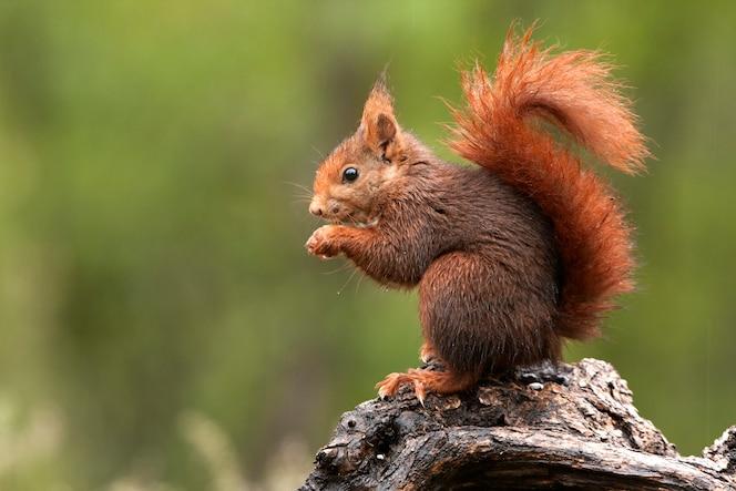 붉은 다람쥐, sciurus vulgaris, 다람쥐, 포유류, 동물
