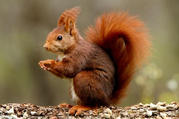 Красная белка, sciurus vulgaris, белка, млекопитающие, животные