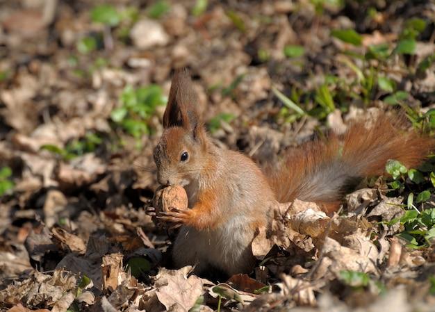 Red squirrel (sciurus vulgaris) taken at forest