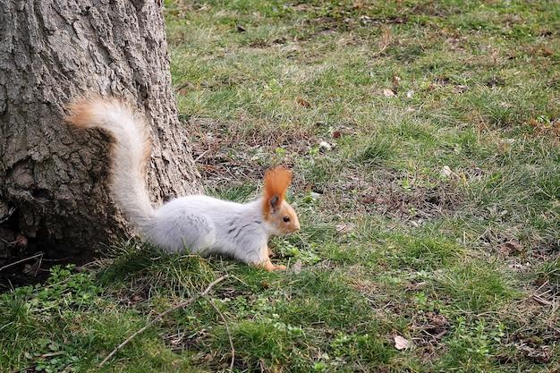 Рыжая белка сидит возле дерева