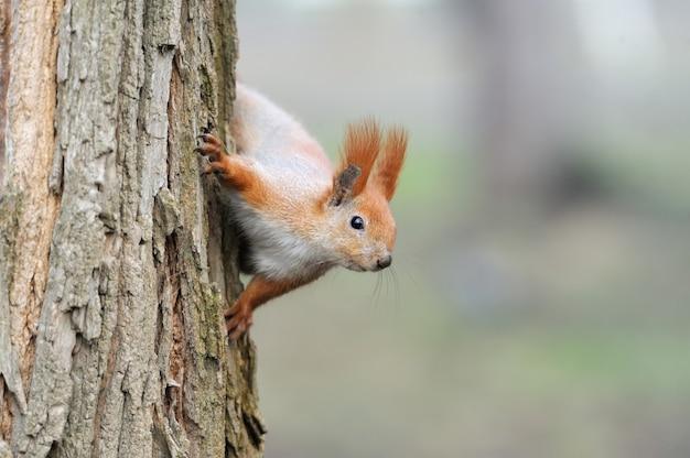 Рыжая белка сидит на дереве