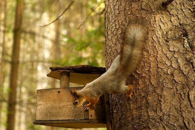 Рыжая белка осматривает простую деревянную кормушку для птиц в лесу
