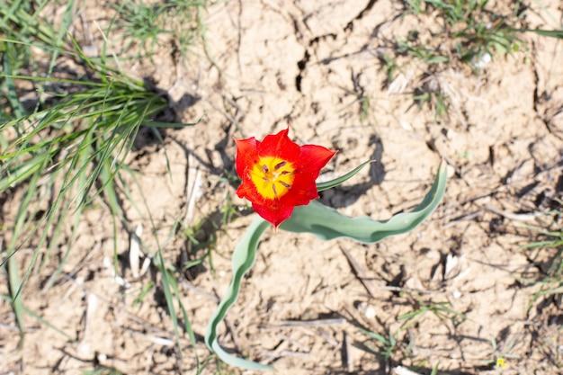 Красный степной тюльпан шренка весенним днем. калмыкия