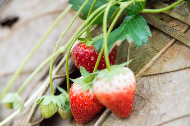 Red strawberries on the farm