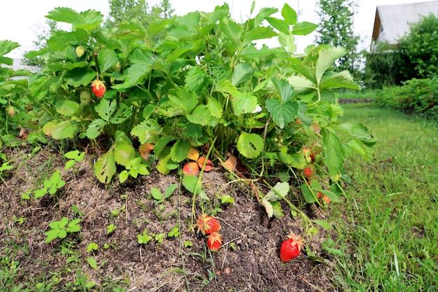 農村の菜園で赤いイチゴ