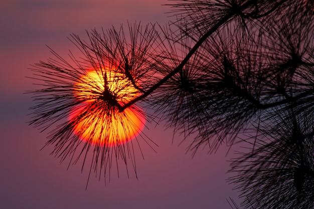 Красное солнце и сосновые листья