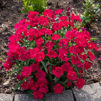 Red sweet william (dianthus barbatus) flowering in the early morning sunshine