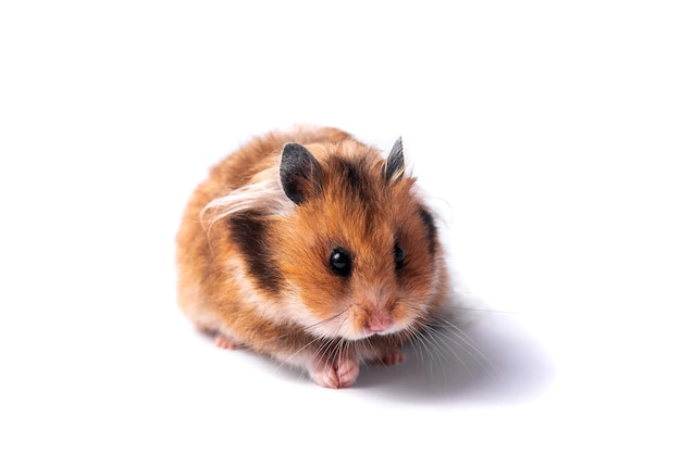 Red syrian hamster on a white background eats carrots