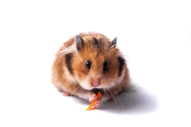 Red syrian hamster on a white background