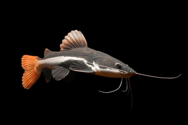 Красный хвост сома плавание под водой