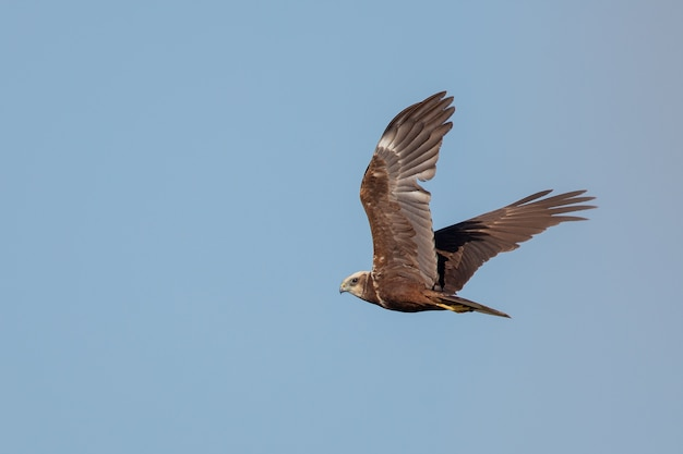 Red-tailed hawk flying under a clear blue sky